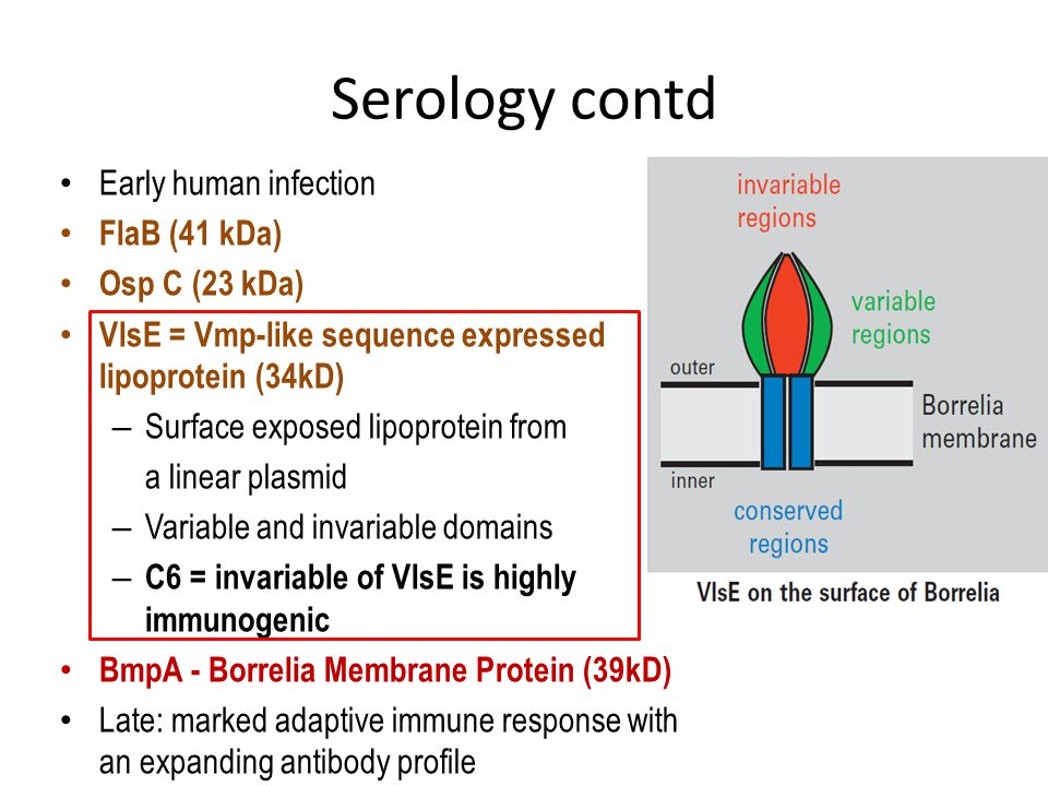Serology contd Early human infection FlaB (41 kDa) Osp C (23 kDa) VlsE = Vmp-like sequence expressed lipoprotein (34kD) – Surface exposed lipoprotein from a linear plasmid – Variable and invariable domains – C6 = invariable of VlsE is highly immunogenic BmpA - Borrelia Membrane Protein (39kD) Late: marked adaptive immune response with an expanding antibody profile