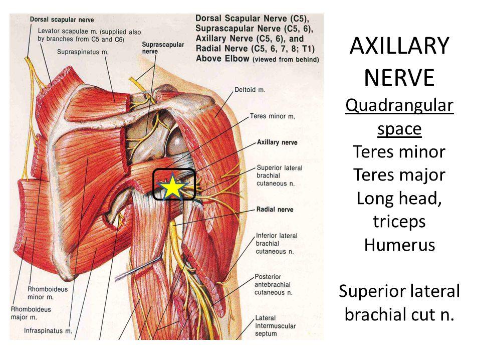 AXILLARY NERVE Quadrangular space Teres minor Teres major Long head, triceps Humerus Superior lateral brachial cut n.