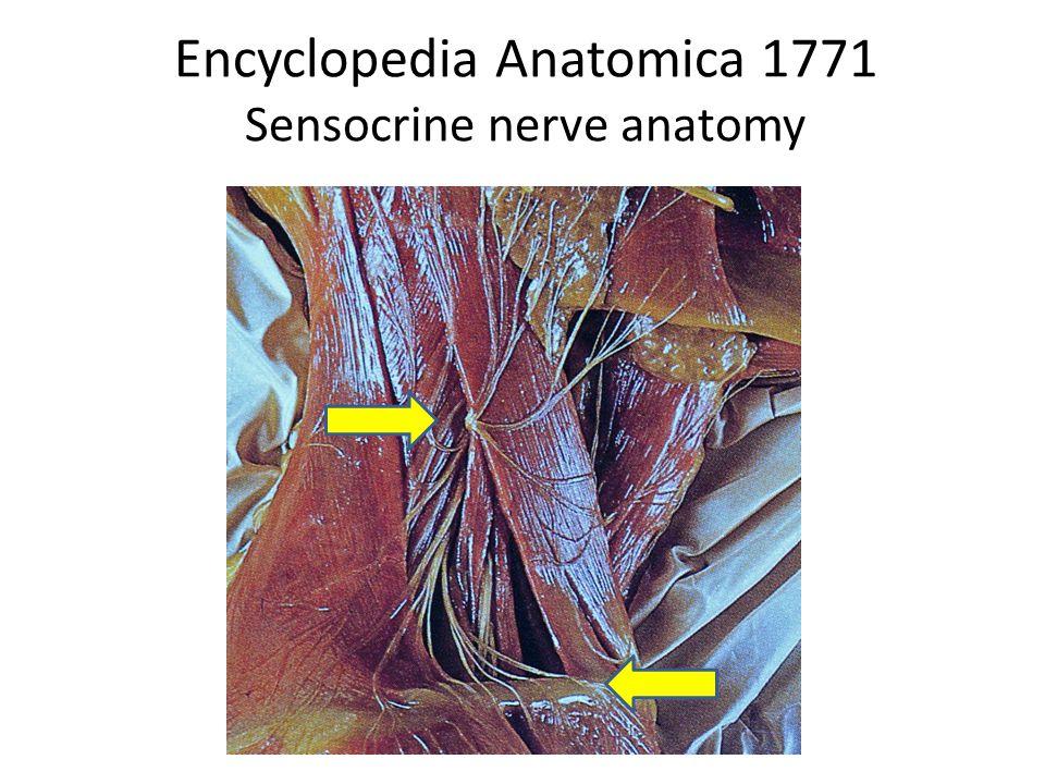 Encyclopedia Anatomica 1771 Sensocrine nerve anatomy