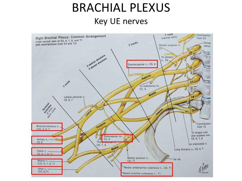 BRACHIAL PLEXUS Key UE nerves
