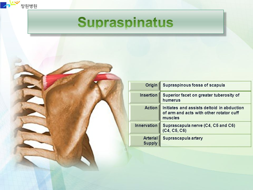 OriginSupraspinous fossa of scapula InsertionSuperior facet on greater tuberosity of humerus ActionInitiates and assists deltoid in abduction of arm a