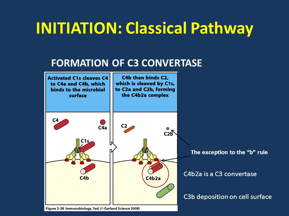 INITIATION: Classical Pathway The exception to the b rule FORMATION OF C3 CONVERTASE C3b deposition on cell surface C4b2a is a C3 convertase