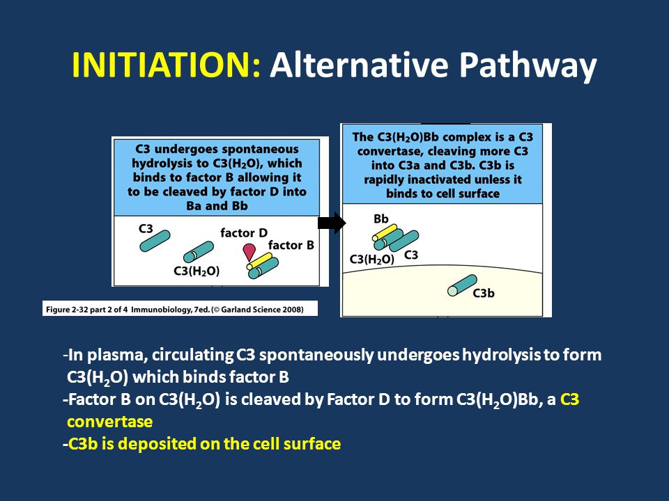 INITIATION: Alternative Pathway -In plasma, circulating C3 spontaneously undergoes hydrolysis to form C3(H 2 O) which binds factor B -Factor B on C3(H 2 O) is cleaved by Factor D to form C3(H 2 O)Bb, a C3 convertase -C3b is deposited on the cell surface