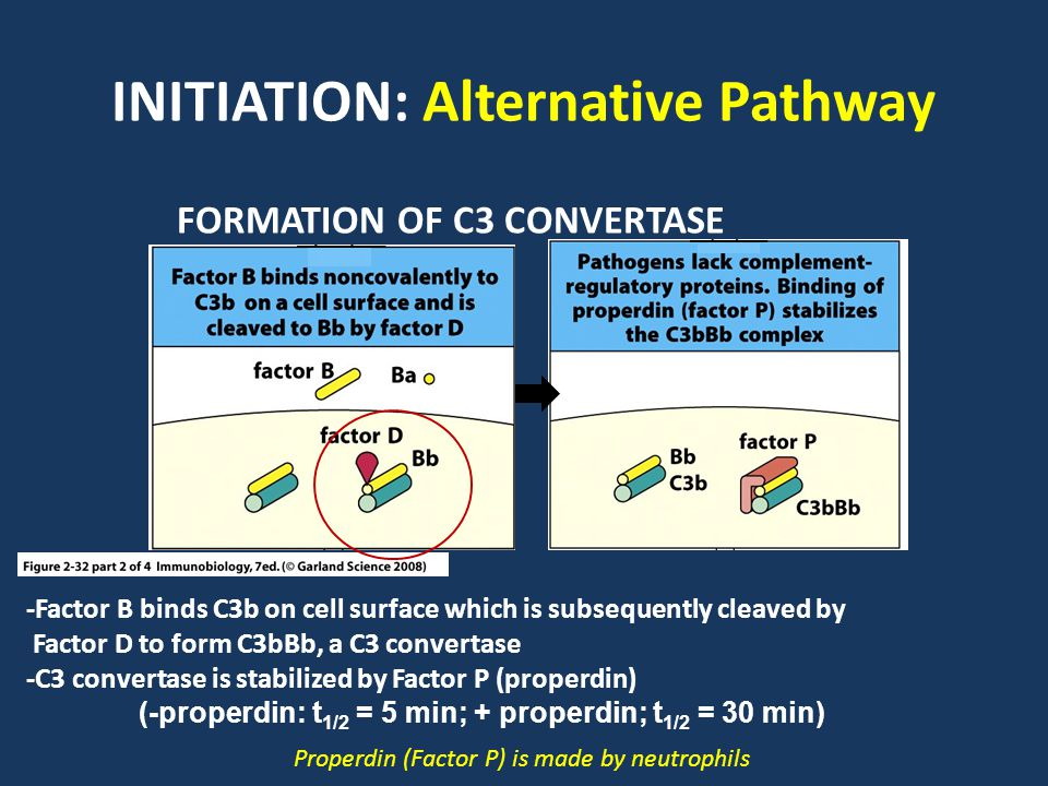 INITIATION: Alternative Pathway -Factor B binds C3b on cell surface which is subsequently cleaved by Factor D to form C3bBb, a C3 convertase -C3 convertase is stabilized by Factor P (properdin) (-properdin: t 1/2 = 5 min; + properdin; t 1/2 = 30 min) FORMATION OF C3 CONVERTASE Properdin (Factor P) is made by neutrophils