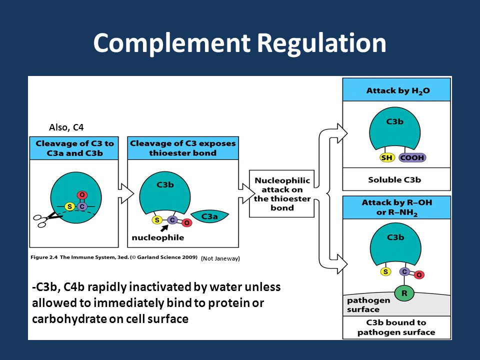 Complement Regulation (Not Janeway) Also, C4 -C3b, C4b rapidly inactivated by water unless allowed to immediately bind to protein or carbohydrate on cell surface