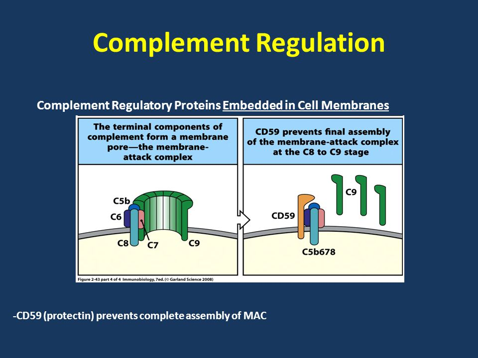 Complement Regulation Complement Regulatory Proteins Embedded in Cell Membranes -CD59 (protectin) prevents complete assembly of MAC