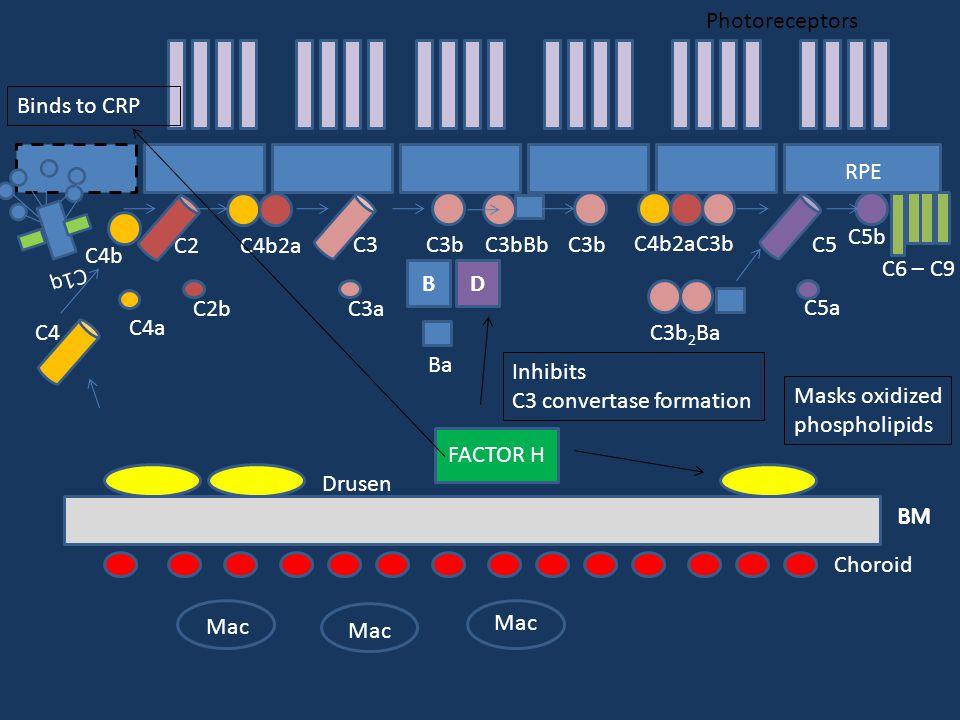 Photoreceptors RPE BM Choroid BM Drusen C1q C4 C4b C4a C2 C4b2a C2b C3 C3a C3bC5 C5b C5a C6 – C9 BD C3bBb Ba C4b2aC3b C3b C3b 2 Ba Mac FACTOR H Inhibits C3 convertase formation Masks oxidized phospholipids Binds to CRP