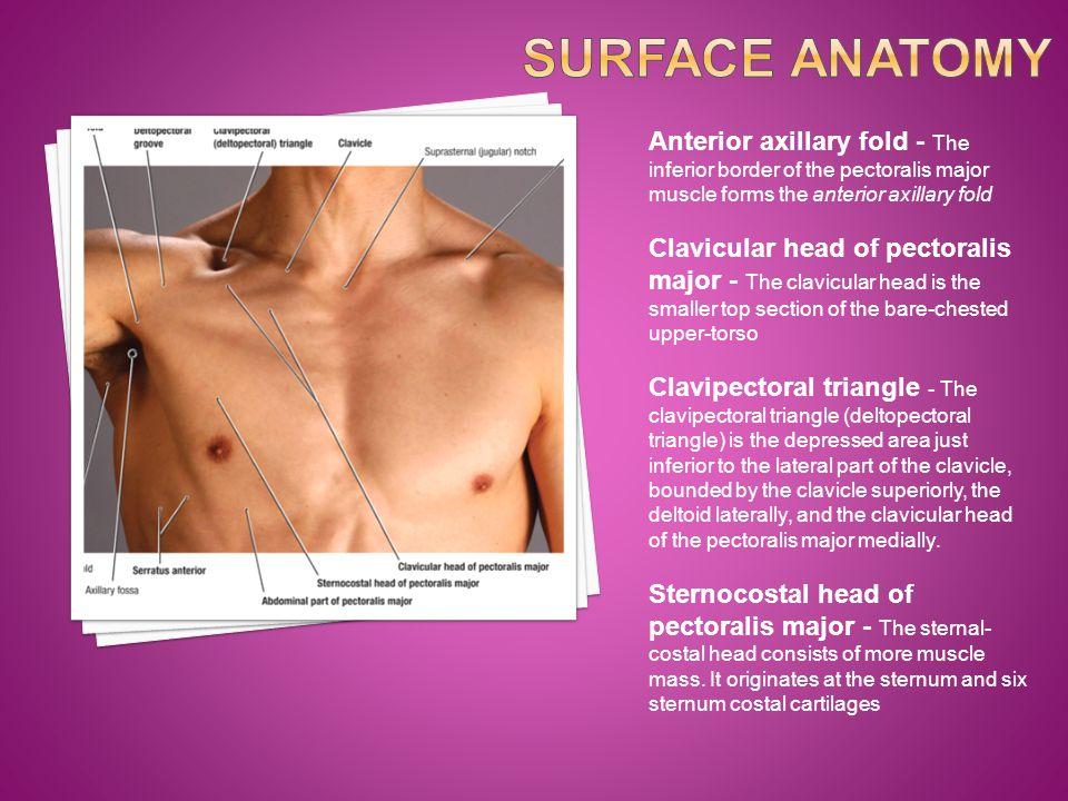 Subclavian Axillary Transverse Cevical Dorsal Scapular Lateral Thoracic Posterior Circumflex Deep Scapular Suprascapular Circumflex Scapular Subscapular Brachial Arteries