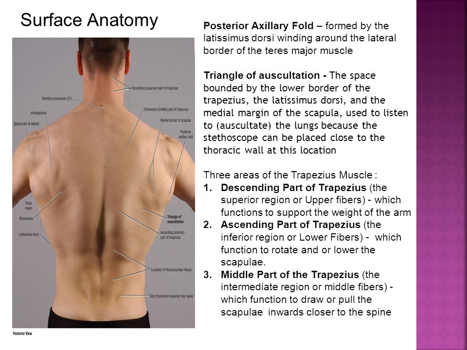 Surface Anatomy Posterior Axillary Fold – formed by the latissimus dorsi winding around the lateral border of the teres major muscle Triangle of auscu