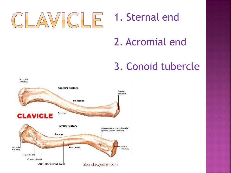 1. Sternal end 2. Acromial end 3. Conoid tubercle