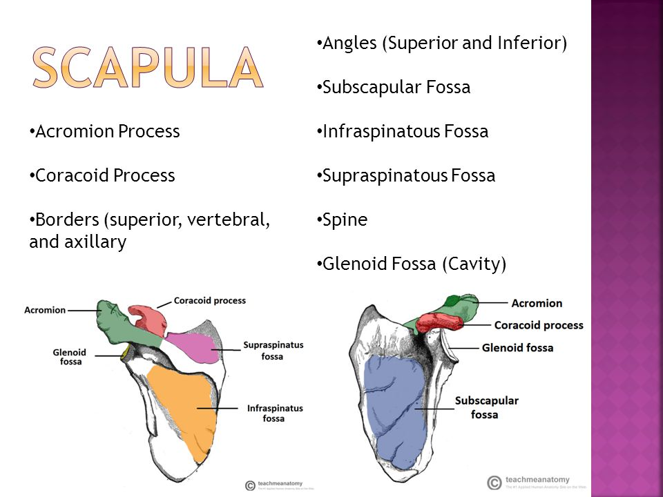  Origin: Subscapular fossa of the scapula  Insertion: Lesser tubercle of the humerus  Action: Shoulder Medial Rotation and adduction, also helps hold Humeral Head in Glenoid Cavity  Innervation: Subscapular nerve and Subscapular Artery  Roots: C5-C7  Synergists: -Adduction: Pectoralis Major, Teres Major, Latissumus dorsi -Medial Rotation: Latissimus dorsi, Teres Major, Pectoralis Major, Anterior Deltoid  Antagonists: -Abduction: Deltoid, Supraspinatus -Lateral Rotation: Teres Minor, Posterior Deltoid