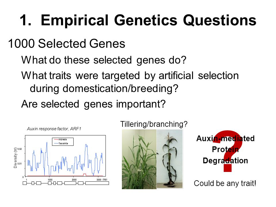1. Empirical Genetics Questions 1000 Selected Genes What do these selected genes do? What traits were targeted by artificial selection during domestic