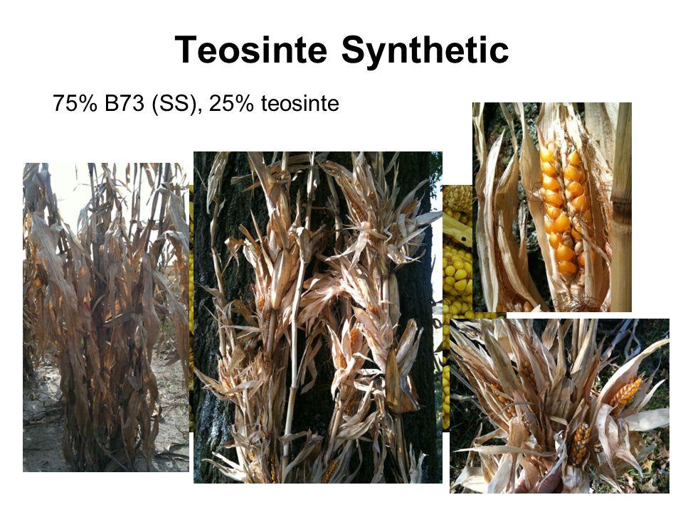 Teosinte Synthetic 75% B73 (SS), 25% teosinte