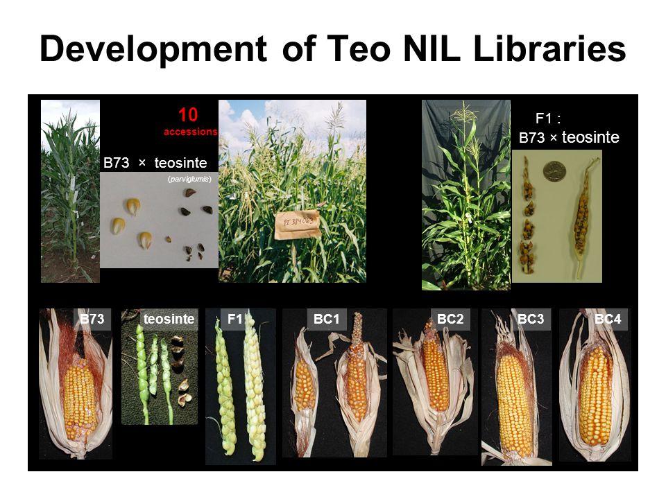 Development of Teo NIL Libraries B73 × teosinte (parviglumis) 10 accessions F1 : B73 × teosinte teosinteBC1BC2BC3BC4B73F1