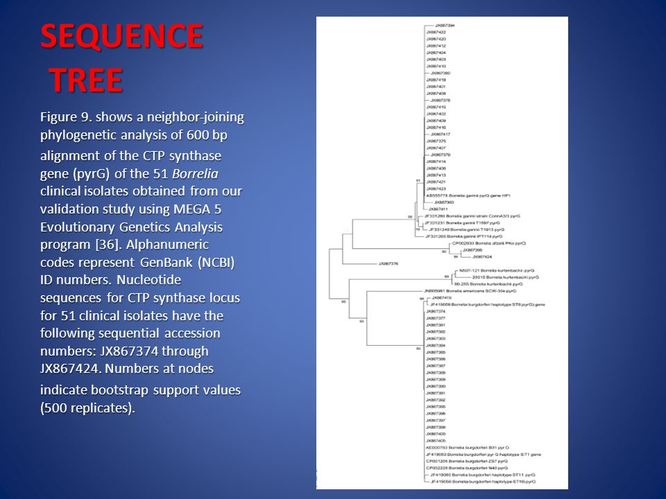 SEQUENCE TREE Figure 9. shows a neighbor-joining phylogenetic analysis of 600 bp alignment of the CTP synthase gene (pyrG) of the 51 Borrelia clinical