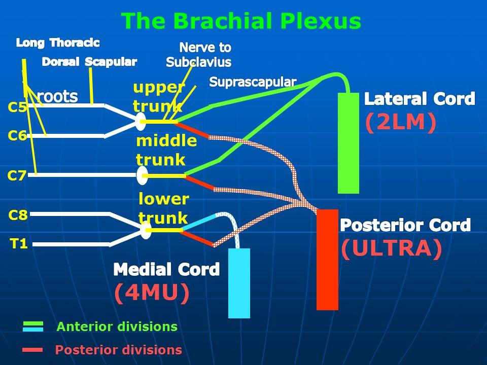 The Brachial Plexus C5 C6 C7 C8 T1 upper trunk middle trunk lower trunk Anterior divisions Posterior divisions