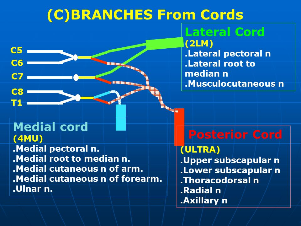 Lateral Cord (2LM).Lateral pectoral n.Lateral root to median n.Musculocutaneous n Posterior Cord (ULTRA).Upper subscapular n.Lower subscapular n.Thora