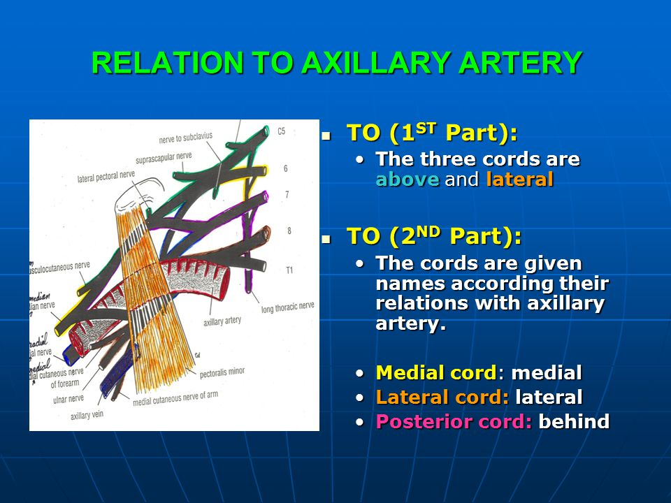 RELATION TO AXILLARY ARTERY TO (1 ST Part): TO (1 ST Part): The three cords are above and lateral TO (2 ND Part): TO (2 ND Part): The cords are given