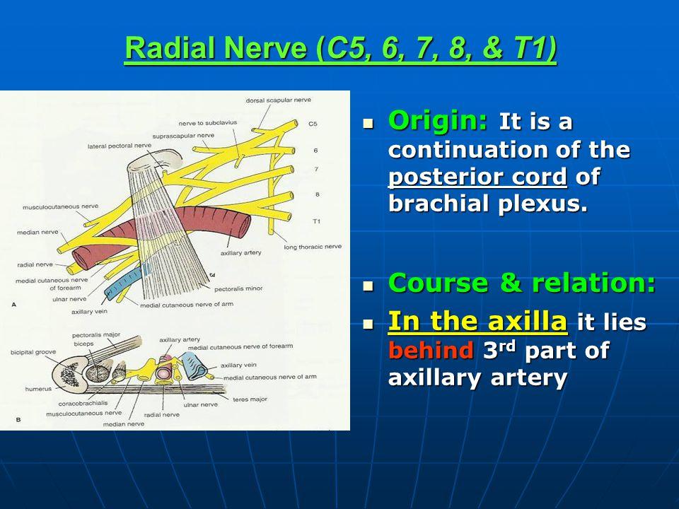 Radial Nerve (C5, 6, 7, 8, & T1) Origin: It is a continuation of the posterior cord of brachial plexus. Origin: It is a continuation of the posterior