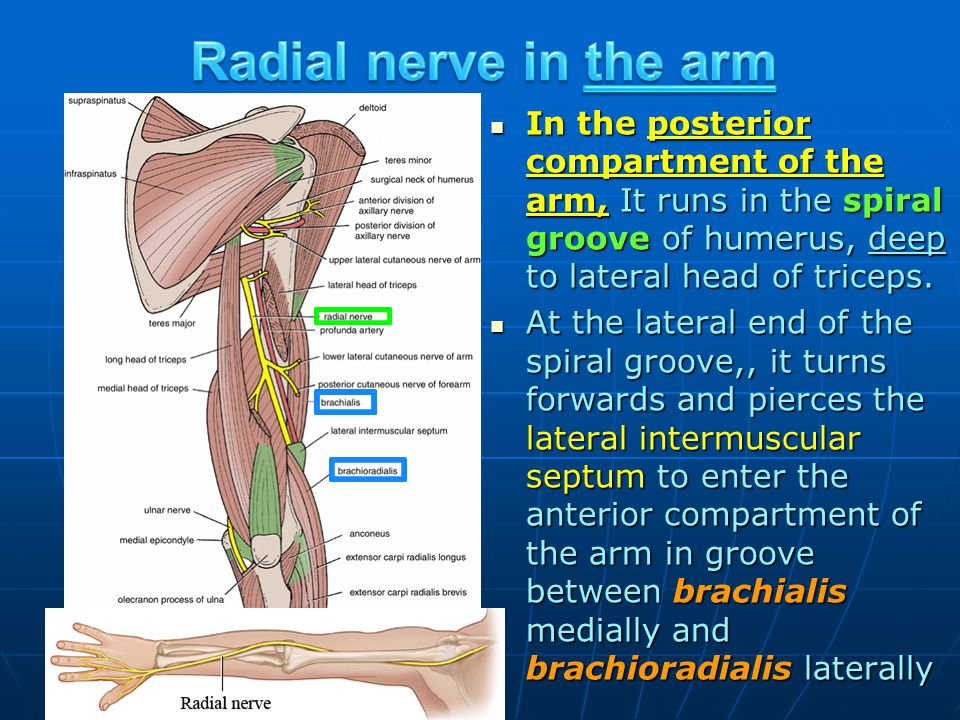 In the posterior compartment of the arm, It runs in the spiral groove of humerus, deep to lateral head of triceps. In the posterior compartment of the