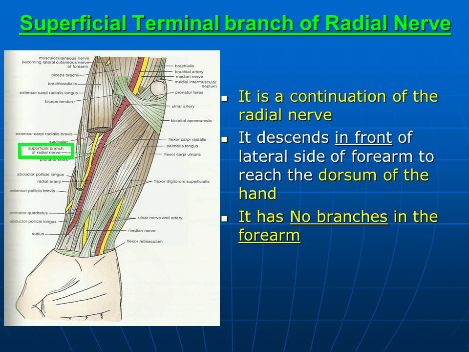 It is a continuation of the radial nerve It is a continuation of the radial nerve It descends in front of lateral side of forearm to reach the dorsum