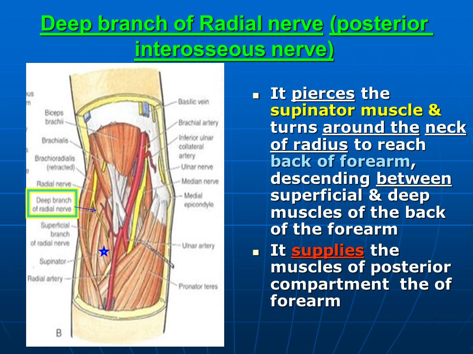 Deep branch of Radial nerve (posterior interosseous nerve) It pierces the supinator muscle & turns around the neck of radius to reach back of forearm,