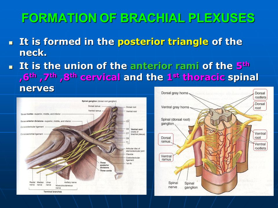 FORMATION OF BRACHIAL PLEXUSES It is formed in the posterior triangle of the neck. It is formed in the posterior triangle of the neck. It is the union