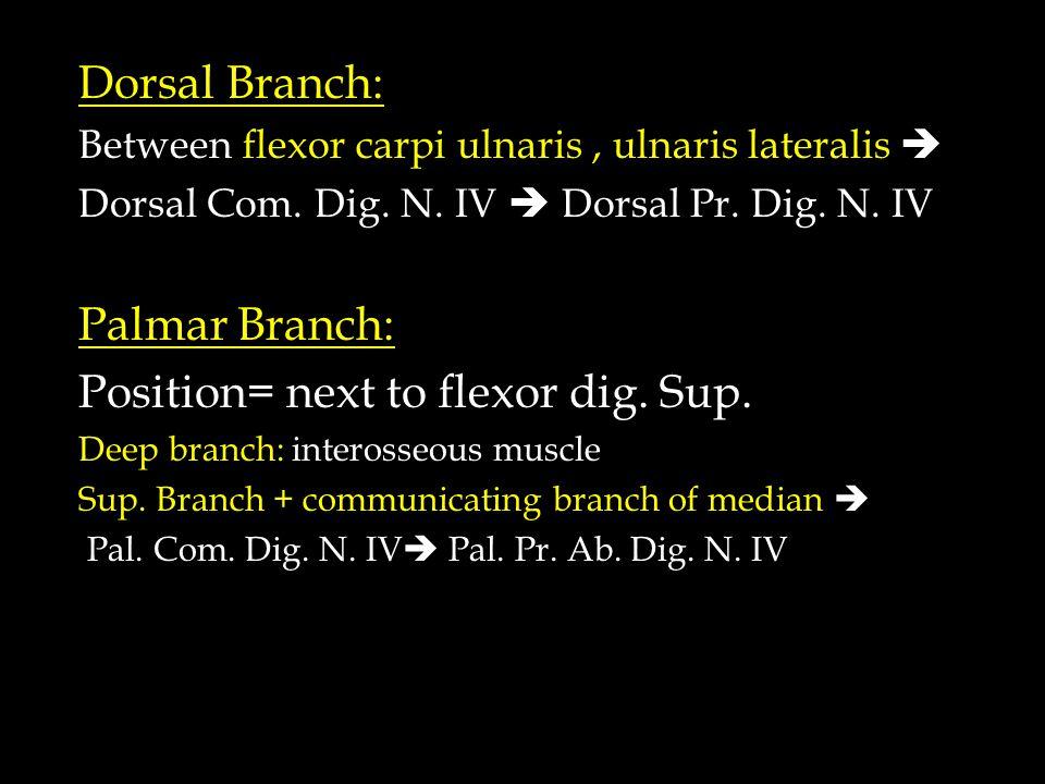 Dorsal Branch: Between flexor carpi ulnaris, ulnaris lateralis  Dorsal Com.