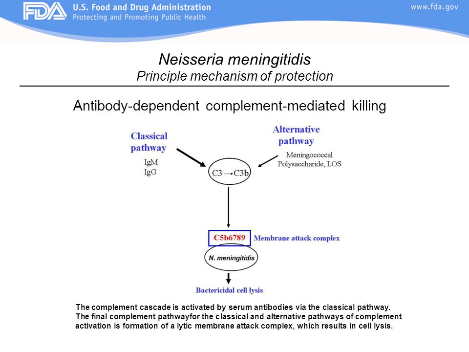 Antibody-dependent complement-mediated killing Neisseria meningitidis Principle mechanism of protection The complement cascade is activated by serum antibodies via the classical pathway.