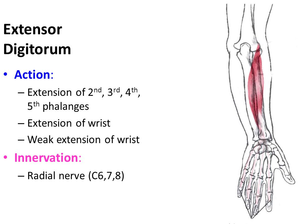 Extensor Digitorum Action: – Extension of 2 nd, 3 rd, 4 th, 5 th phalanges – Extension of wrist – Weak extension of wrist Innervation: – Radial nerve