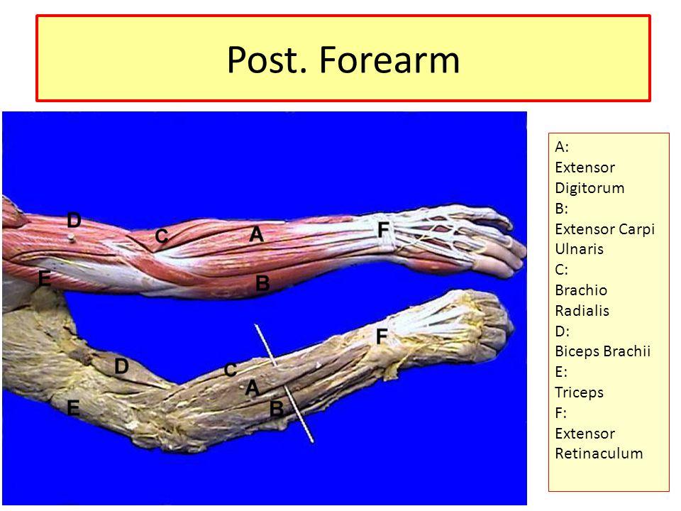 Extensor Digitorum Action: – Extension of 2 nd, 3 rd, 4 th, 5 th phalanges – Extension of wrist – Weak extension of wrist Innervation: – Radial nerve (C6,7,8)