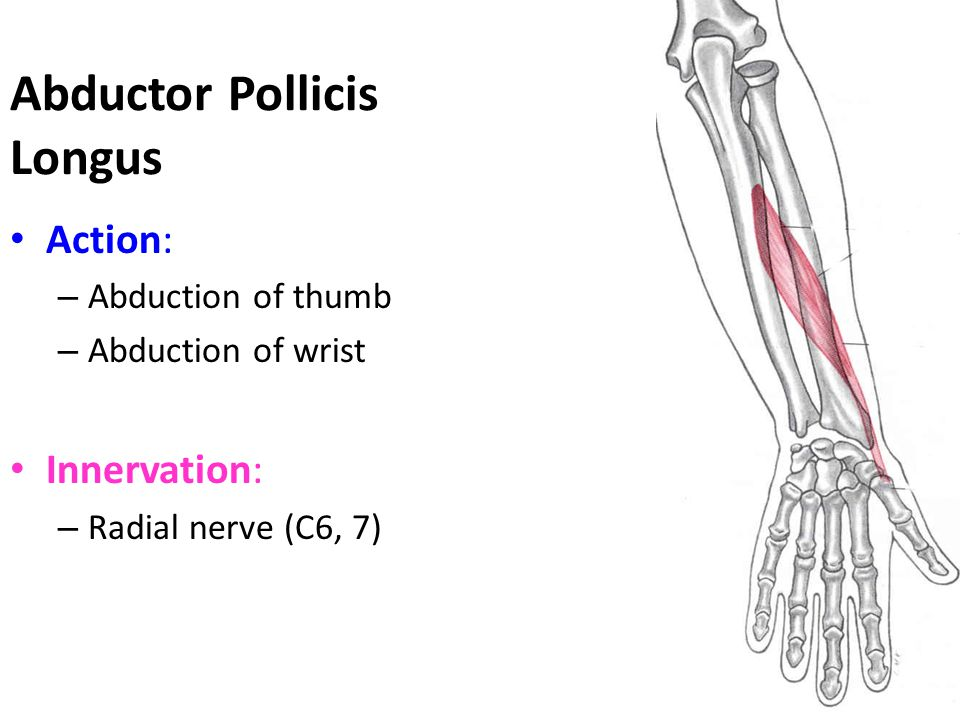 Abductor Pollicis Longus Action: – Abduction of thumb – Abduction of wrist Innervation: – Radial nerve (C6, 7)