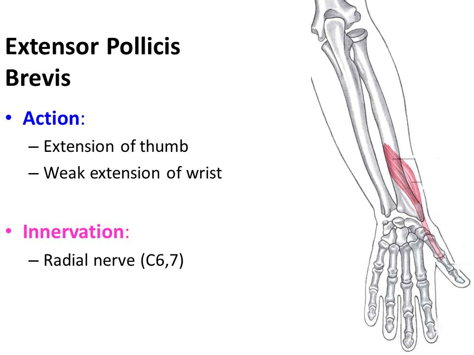 Extensor Pollicis Brevis Action: – Extension of thumb – Weak extension of wrist Innervation: – Radial nerve (C6,7)