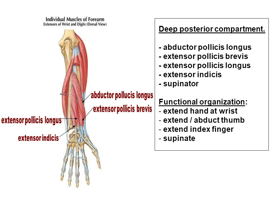 Deep posterior compartment. - abductor pollicis longus - extensor pollicis brevis - extensor pollicis longus - extensor indicis - supinator Functional