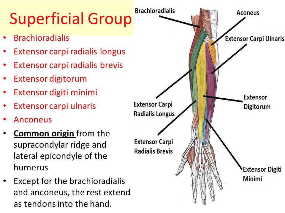 Extensor Digiti Minimi Action: – Extension of little finger – Weak wrist extension Innervation: – Radial nerve (C6,7,8)