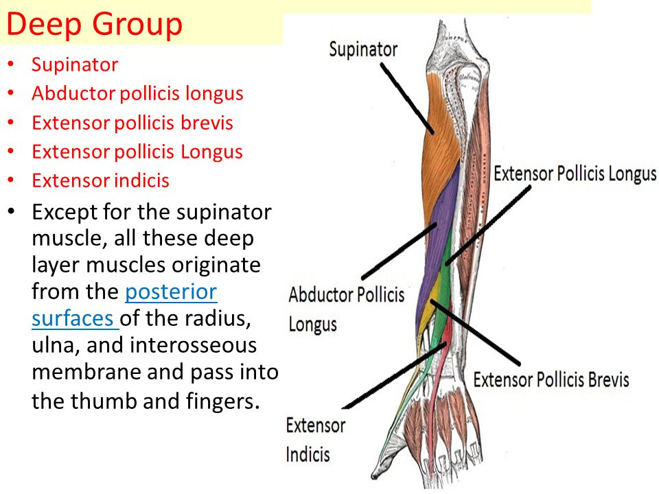 Deep Group Supinator Abductor pollicis longus Extensor pollicis brevis Extensor pollicis Longus Extensor indicis Except for the supinator muscle, all