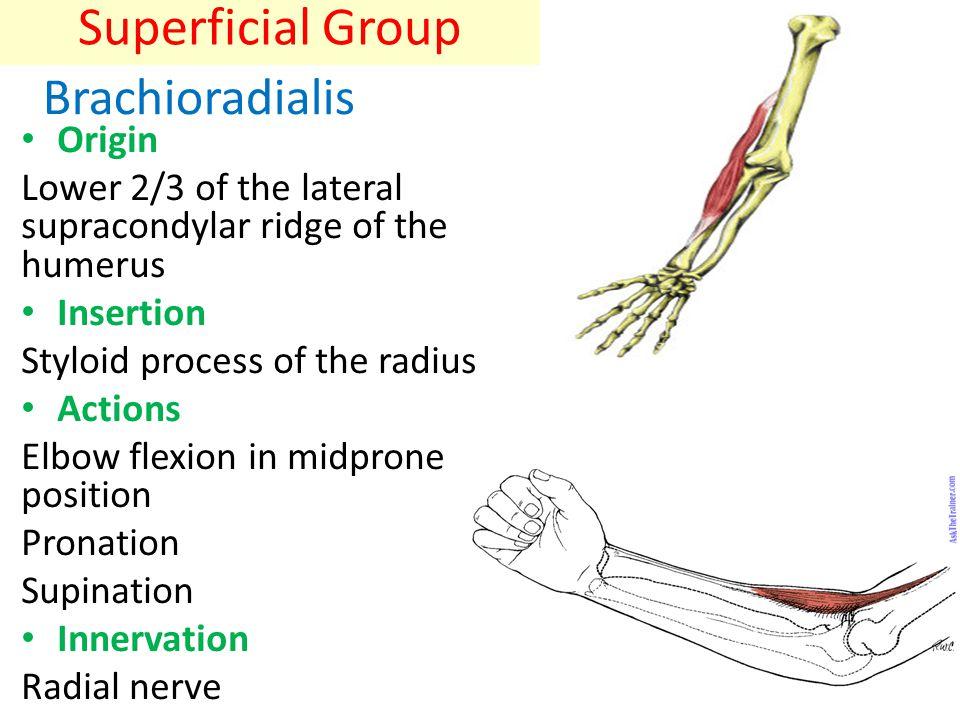 Extensor Carpi Radialis Longus Origin: – Lower 1/3 of lateral supracondylar ridge of humerus – Lateral epicondyle of humerus Insertion: – Base of 2 nd metacarpal (dorsal surface)