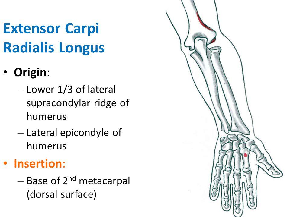 Extensor Carpi Radialis Longus Action: – Extension of wrist – Abduction of wrist – Weak extension of elbow Innervation: – Radial Nerve (C6,7)