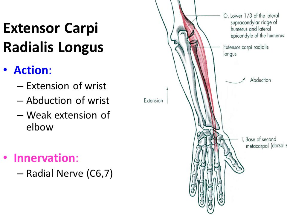 Extensor Carpi Radialis Brevis Origin: – Lateral epicondyle of humerus Insertion: – Base of 3 rd metacarpal (dorsal surface)