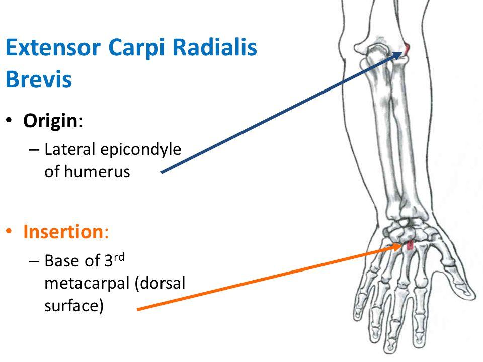 Extensor Carpi Radialis Brevis Action: – Extension of wrist – Abduction of wrist – Weak extension of elbow Innervation: – Radial nerve (C6,7)