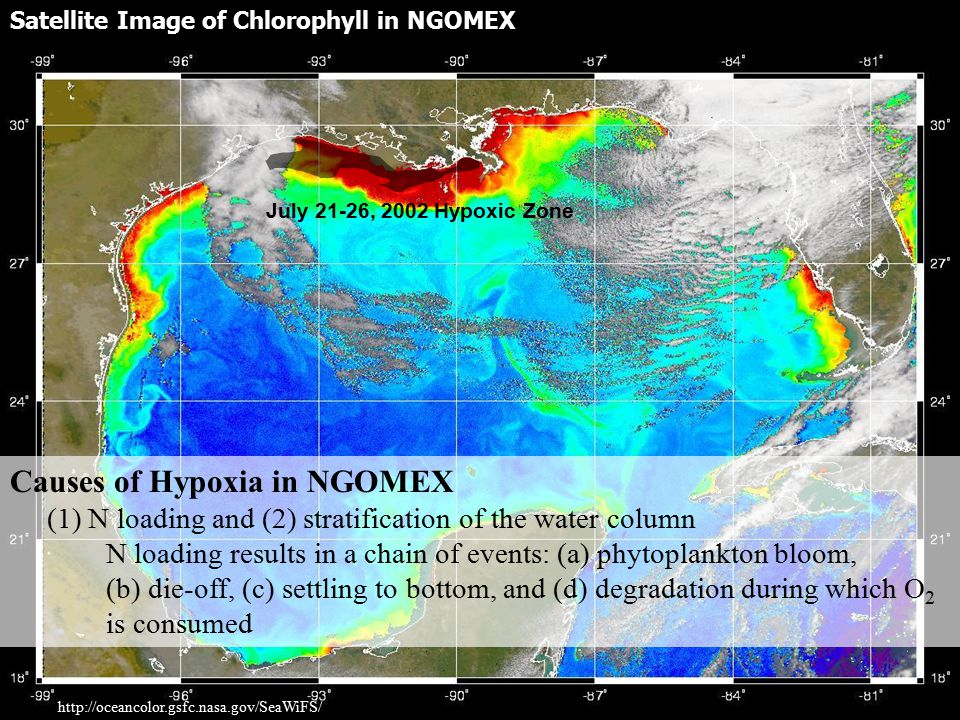 Satellite Image of Chlorophyll in NGOMEX http://oceancolor.gsfc.nasa.gov/SeaWiFS/ July 21-26, 2002 Hypoxic Zone Causes of Hypoxia in NGOMEX (1) N loading and (2) stratification of the water column N loading results in a chain of events: (a) phytoplankton bloom, (b) die-off, (c) settling to bottom, and (d) degradation during which O 2 is consumed