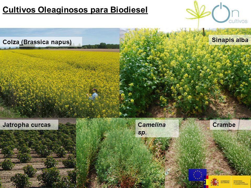 Sinapis alba Cultivos Oleaginosos para Biodiesel Colza (Brassica napus) Jatropha curcasCamelina sp.
