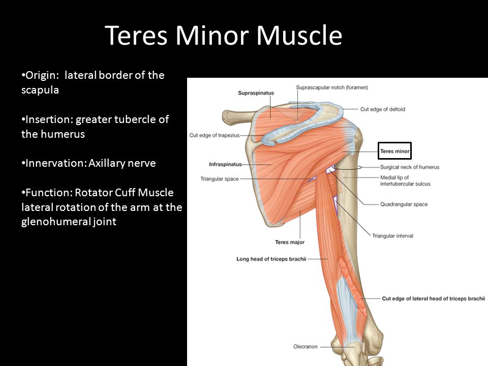 Origin: lateral border of the scapula Insertion: greater tubercle of the humerus Innervation: Axillary nerve Function: Rotator Cuff Muscle lateral rot