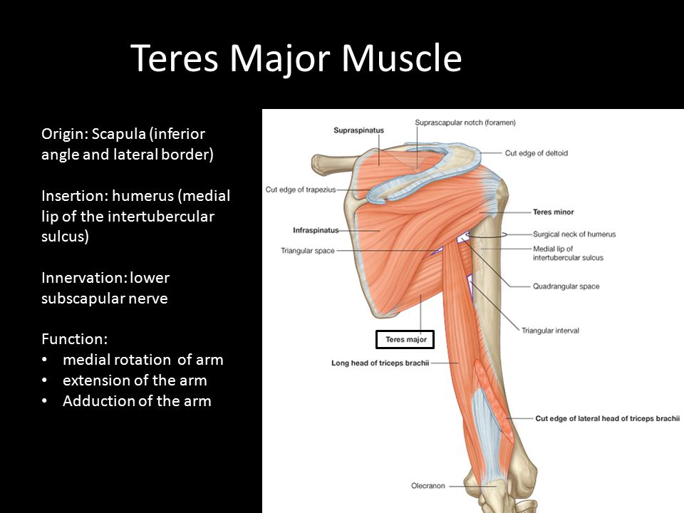 Teres Major Muscle Origin: Scapula (inferior angle and lateral border) Insertion: humerus (medial lip of the intertubercular sulcus) Innervation: lowe
