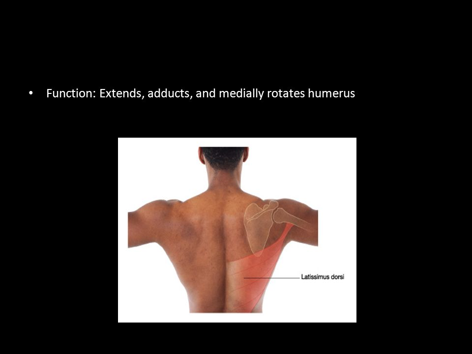 Latissimus Dorsi Function: Extends, adducts, and medially rotates humerus