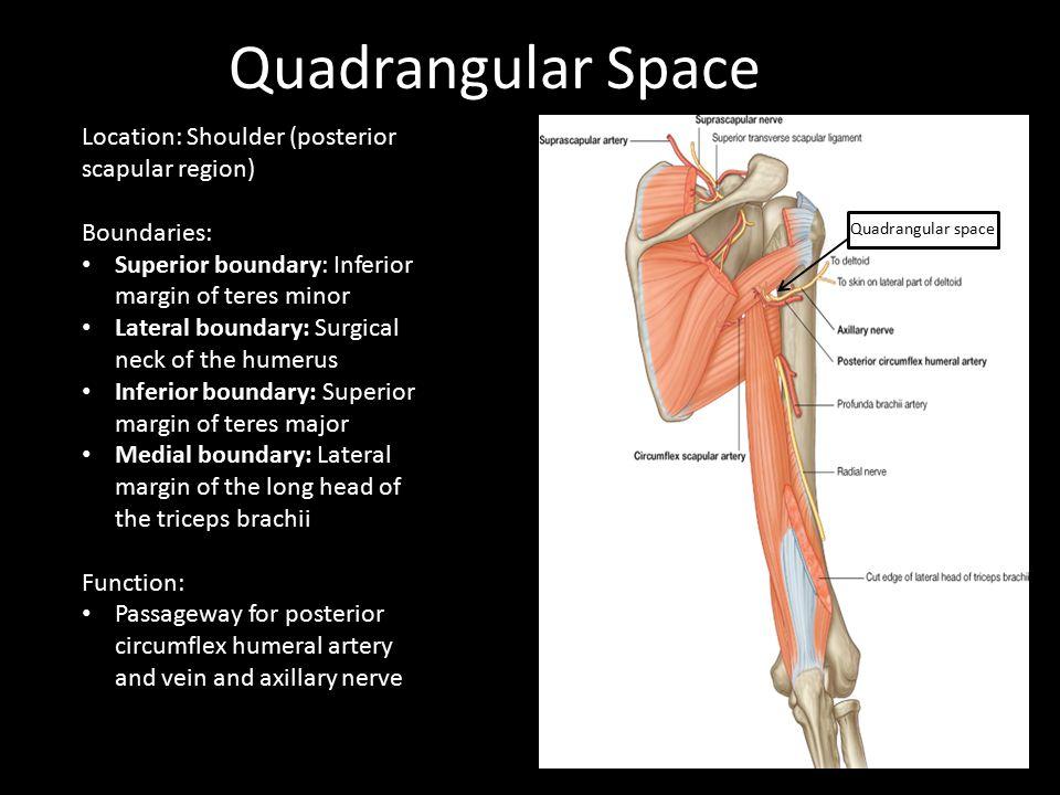 Quadrangular Space Location: Shoulder (posterior scapular region) Boundaries: Superior boundary: Inferior margin of teres minor Lateral boundary: Surg