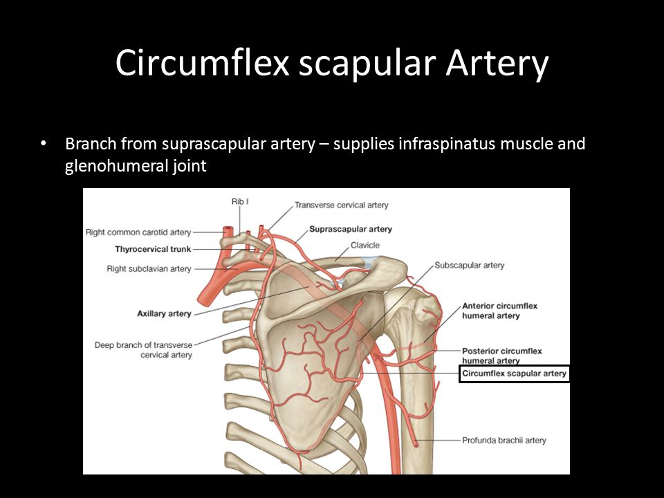 Circumflex scapular Artery Greater tubercle Branch from suprascapular artery – supplies infraspinatus muscle and glenohumeral joint