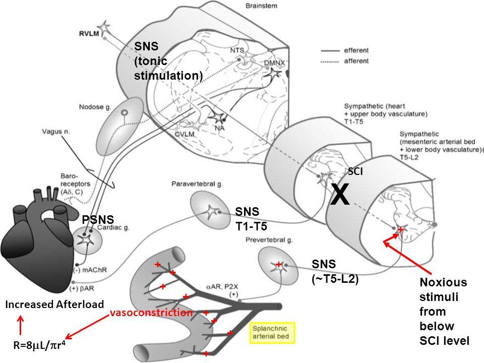 SNS T1-T5 PSNS SNS (~T5-L2) SNS (tonic stimulation) + Noxious stimuli from below SCI level X + + + + + + + + + vasoconstriction R=8  L/  r 4 Increas