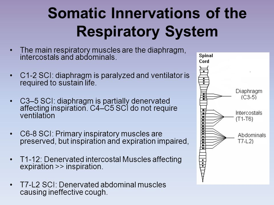 Somatic Innervations of the Respiratory System The main respiratory muscles are the diaphragm, intercostals and abdominals. C1-2 SCI: diaphragm is par