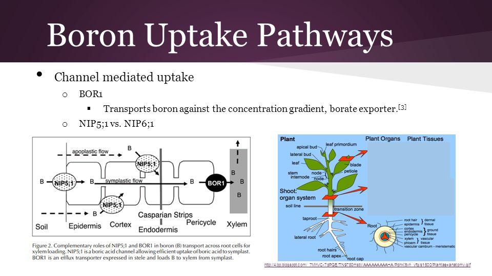 Boron Uptake Pathways Channel mediated uptake o BOR1  Transports boron against the concentration gradient, borate exporter. [3] o NIP5;1 vs. NIP6;1 
